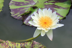 Waterlily, lotus blooming in the tropical garden Royalty Free Stock Images