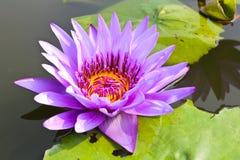 Waterlily or Lotus Flower Stock Photos
