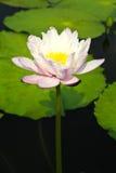 Waterlily or Lotus Flower Stock Image