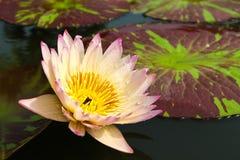 Waterlily or Lotus Flower Royalty Free Stock Image