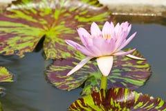 Waterlily or Lotus Flower Royalty Free Stock Photos