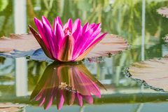 Waterlily Lotus Pond Water Pink stock afbeelding