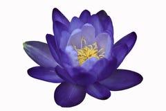 Waterlily of lotusbloembloem die op witte achtergrond wordt geïsoleerd Royalty-vrije Stock Fotografie