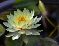 Waterlily lub lotosowy kwiat Zdjęcia Royalty Free