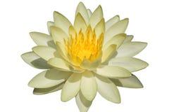 Waterlily lub lotosowy kwiat odizolowywający na białym tle Zdjęcia Royalty Free