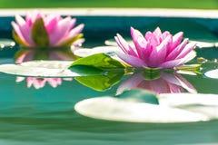Waterlily lub lotosowy kwiat w stawie Zdjęcie Royalty Free