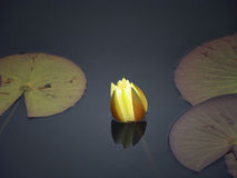 Waterlily. A magical moment in nature, water lily in all its beauty and uniqueness Royalty Free Stock Photos