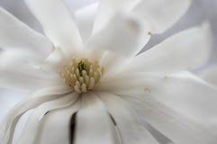 Waterlily magnolia (Magnoliowy stellata) Fotografia Royalty Free