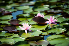 Waterlily met Leliestootkussens in Moeras of Moeras op Warme de Zomerdag stock foto