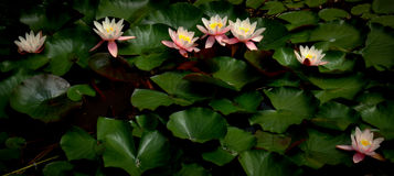Waterlily. Multiple waterlily on the lake Royalty Free Stock Photos