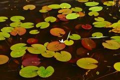 Waterlily na jeziorze Obrazy Royalty Free