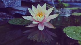 Waterlily na lagoa Imagem de Stock