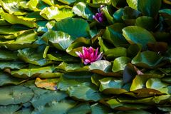 Waterlily na lagoa do jardim imagem de stock