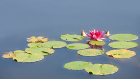 Waterlily na lagoa do jardim Foto de Stock Royalty Free
