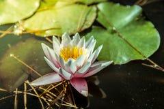 Waterlily na lagoa do jardim com água amarelada imagem de stock