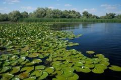 Waterlily no delta de Danúbio em Romênia foto de stock