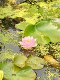 Waterlily  Nymphaeaceae Royalty Free Stock Photo