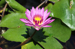 Waterlily Nympheya Royalty Free Stock Photo