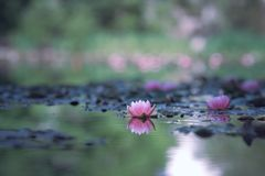 waterlily foto de archivo