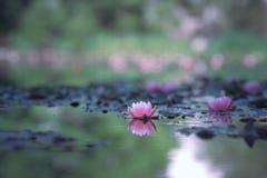 waterlily photo stock