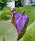 Waterlily púrpura y una abeja en el thr acumulan Imagen de archivo libre de regalías