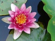 Waterlily in piena fioritura Immagini Stock Libere da Diritti