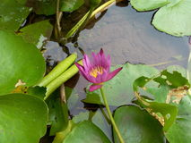 Waterlily. Pink of Waterlily Royalty Free Stock Photo