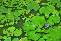 Waterlily Plants Stock Photo