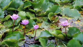 Waterlily pond Stock Image
