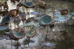 Free Waterlily Pond, Dry And Dead Water Lilies, Dead Lotus Flower, Beautiful Colored Background With Water Lily In The Pond Royalty Free Stock Photography - 105465597