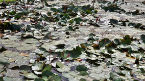 Waterlily pond in the heritage Royalty Free Stock Photography