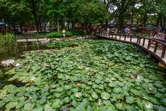 Waterlily pond in Nami Island, Korea stock photo