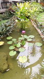 Waterlily in the pond Stock Photography