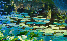 Waterlily pond   Vandusen Gardens Royalty Free Stock Photography