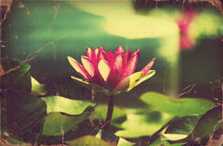 Waterlily in pond .Vintage flowers. Card on old paper Royalty Free Stock Images
