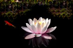 Waterlily Pool Royalty Free Stock Photography