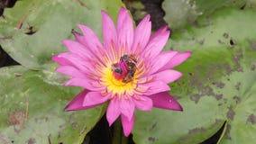 Waterlily purpere bloemen die met vele bijen het snoepje verzamelen stock video