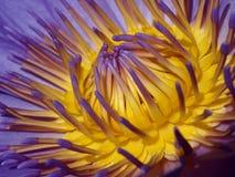 Waterlily in purpere en gele kleuren Stock Foto's