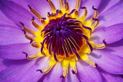 Waterlily Stock Photo