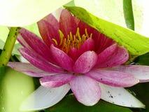 Waterlily que esconde sob as folhas imagem de stock