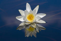 Waterlily reflected in water. Stock Images