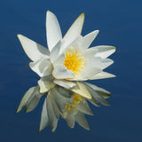Waterlily reflected in water. Royalty Free Stock Photography