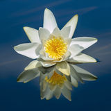 Waterlily reflected in water. Stock Photo