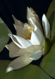 Waterlily reflected in water Royalty Free Stock Images