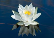 Waterlily. Royalty Free Stock Image
