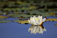 Waterlily reflecting on water Royalty Free Stock Images