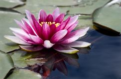 Waterlily reflection Stock Images