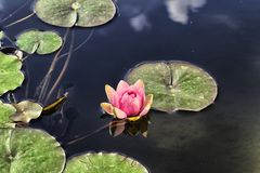 Waterlily and reflection Royalty Free Stock Image