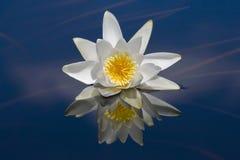 Waterlily reflekterade i vatten arkivbilder