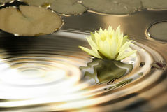 Waterlily ripples. White waterlily flower in circles of water ripples in natural colours Stock Photography